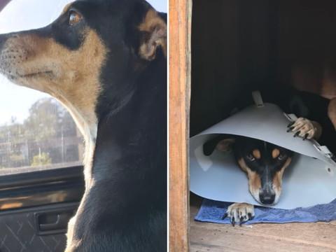 Cachorrinha tutelada pelos Bombeiros de Taquari/RS é castrada com a ajuda de madrinhas e padrinhos