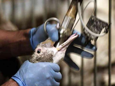 A crueldade do FOIE GRAS: Gansos e patos são alimentados de maneira forçada para aumentar o fígado