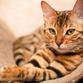 Alerta sobre a importância da vacinação para felinos