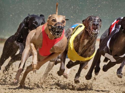 Galgos são usados para corridas e se tornam vítimas de maus tratos no Rio Grande do Sul