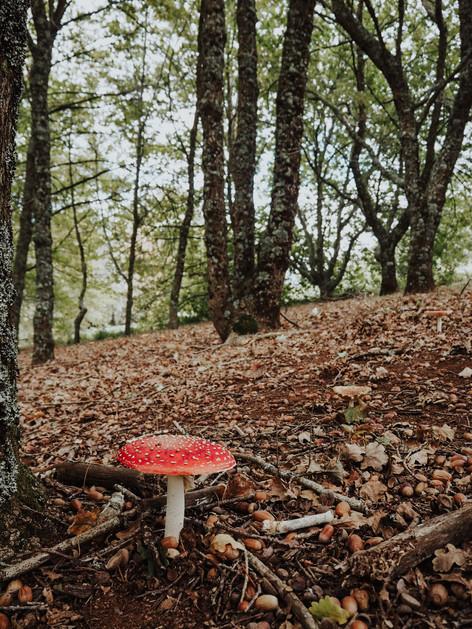 Mushroom, Foresters Wood