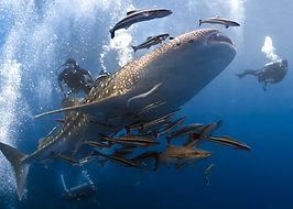 Aurora_wetsuits_diving_with_whaleshark_Thailand_diving_female_divers
