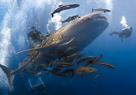 Plonger avec Whaleshark