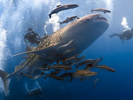 Whale Sharks in Qatar