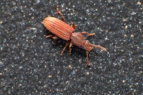 Merchant grain beetle in grey background
