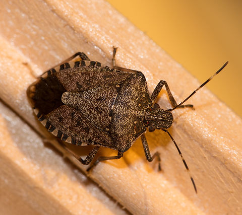 A Brown Marmorated Stink Bug with his di