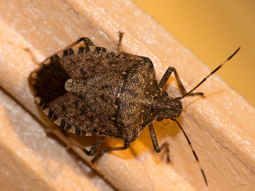 Pinch Your Nose! It's Stink Bug Season!