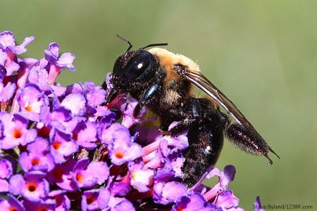 Carpenter Bees-Facts and Prevention