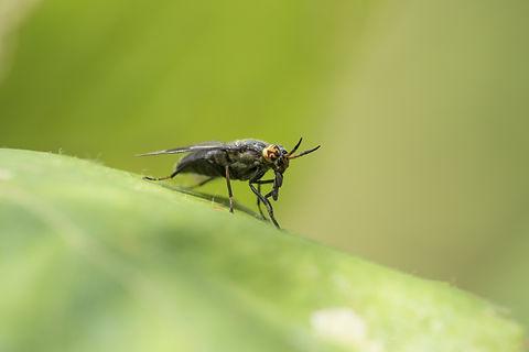 Deer fly (Chrysops excitans).jpg