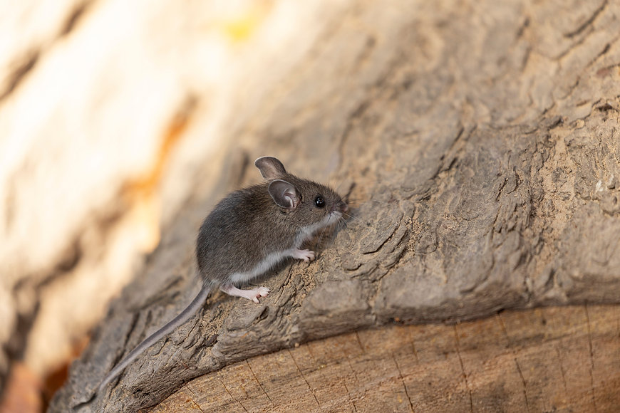 The deer mouse (Peromyscus maniculatus)