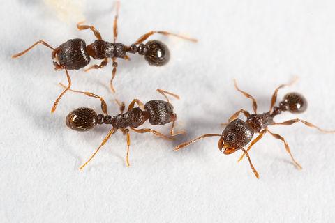 Pavement Ant, Tetramorium species-e, on