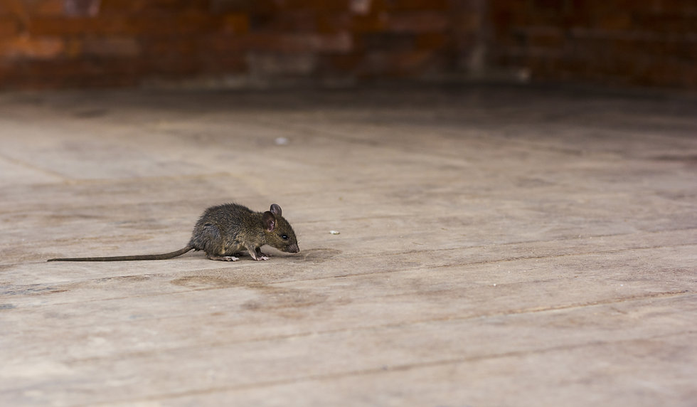 alerted house rat on the wooden floor wi
