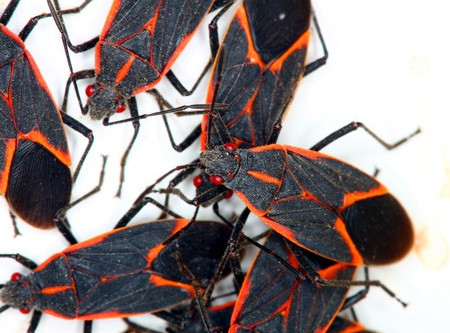 Spring's Unwelcome Visitors: The Boxelder Bug and Asian Lady Beetle