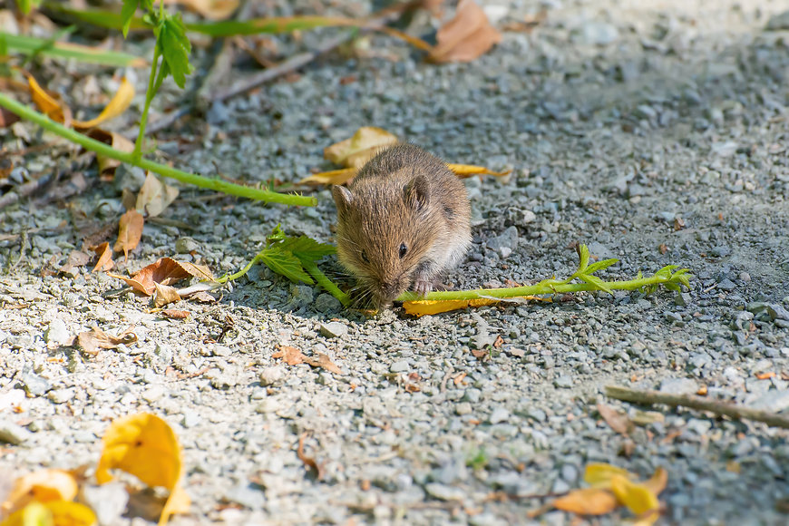 Common vole (Microtus arvalis) feeding o