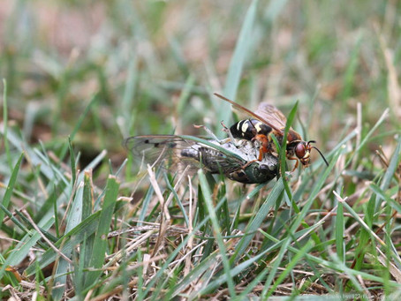 Cicada Killer Wasp vs Asian Giant Hornet-What's the Difference?