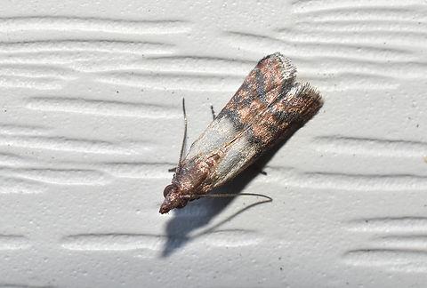 Indian meal moth 1.jpg