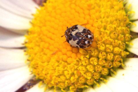 Carpet beetle.jpg