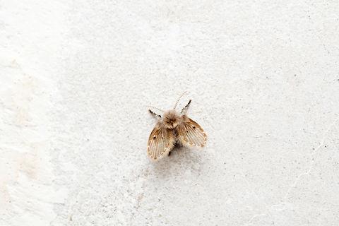 Psychoda cinerea, Psychodidae, Satara, M