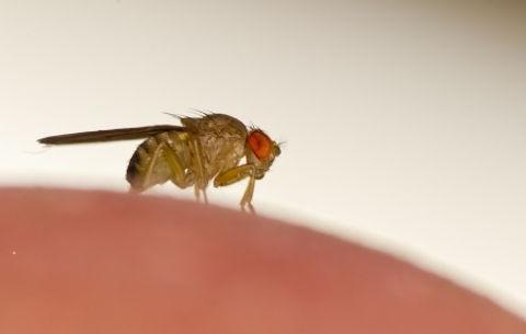 Fruit Fly (2).jpg