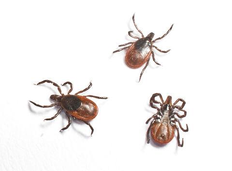 Three females black legged ticks.jpg