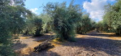 Olive Grove in Tulare County