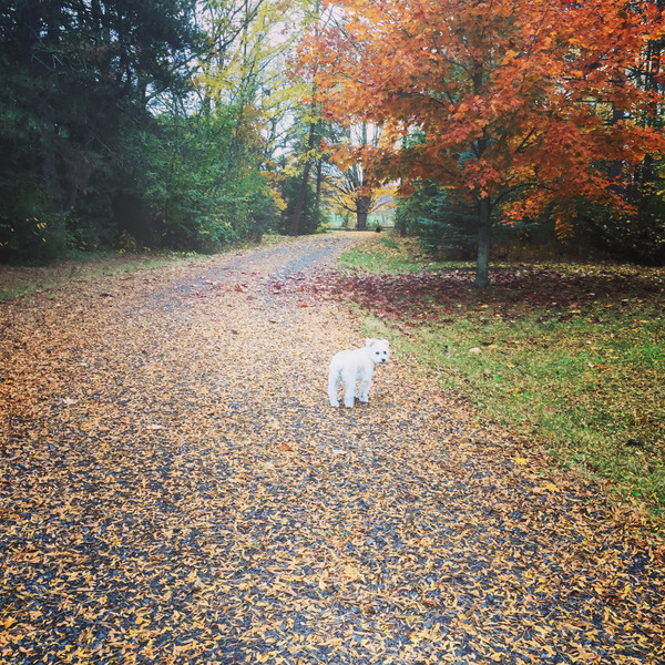 Gracie the Schnoodle among the fall leaves