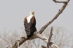 eagle_3
