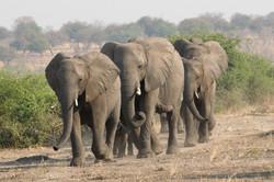 elephant_herd_1