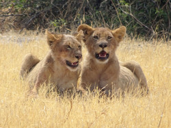 lion_babies_1