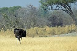 ostrich_1