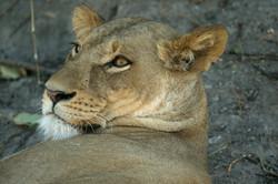 lion_portrait_2