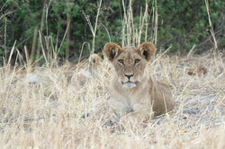 lion_baby_1