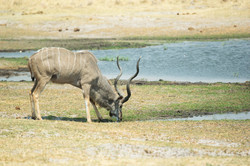 kudu_1