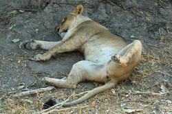 lion_chillin_1