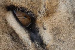 lion_reflection_1