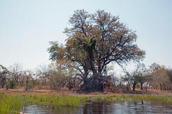 okavango_tree_1