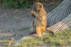 monkey_eating_1