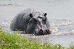 hippo_2