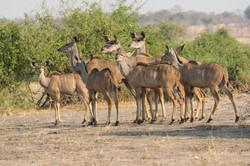kudu_herd_1