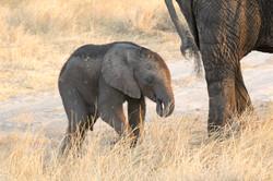 elephant_baby_1