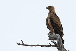 eagle_2