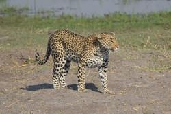 leopard_5