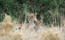 lion_with_baby_1