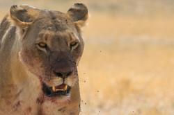 lion_portrait_1