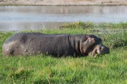 hippo_4