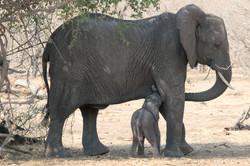 elephant_nuckling_2