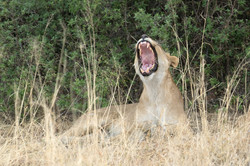 lion_groaning_1
