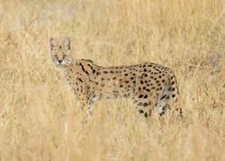 serval_1