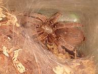 Tarantula for hire