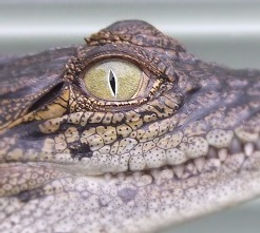 Crocodiles for hire Sydney Animal Hire